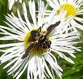 Trichopoda pennipes. Tachinidae - Flickr - gailhampshire.jpg