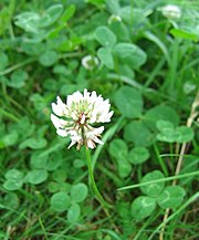 White Clover flower-head and leaves
