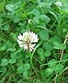 Trifolium-repens.jpg