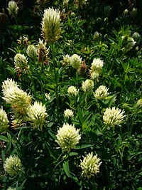 Trifolium pannonicum 'hungarian clover' 2007-06-02 (plant)