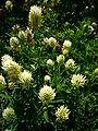Trifolium pannonicum 'hungarian clover' 2007-06-02 (plant).jpg