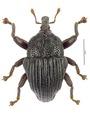 Trigonopterus daintreensis Riedel, holotype.tif
