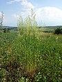 Trisetum flavescens subsp. flavescens sl7.jpg