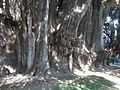 Tronco del Árbol del Tule. - panoramio.jpg