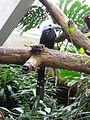Tropicranus albocristatus -Central Park Zoo-6a.jpg