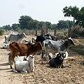 Troupeau dans le désert du Thar (Rajasthan).jpg