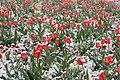 Tulpen und Schneefall ..IMG 5790WI.jpg