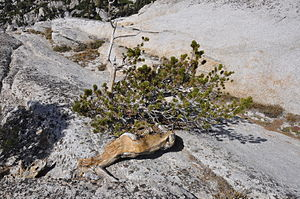 Pinus albicaulis - Pinus albicaulis is the only type of tree on the summit of Pywiack Dome in Yosemite National Park.