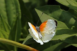 Twin dotted border butterfly (Mylothris rueppellii haemus) male.jpg