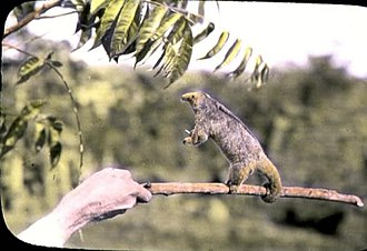 Arboreal locomotion - The silky anteater uses its prehensile tail as a third arm for stabilization and balance, while its claws help better grasp and climb onto branches.