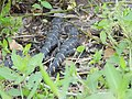 Two baby alligators resting about 3 feet from their mother in CREW Corkscrew Marsh in Florida (31843751693).jpg