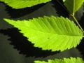 U. americana 'Aurea' leaf.png