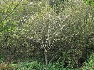 <i>Ulmus americana</i> Lewis & Clark Elm cultivar