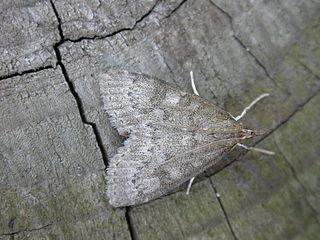<i>Udea prunalis</i> Species of moth