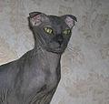Ukrainian Levkoy cat.jpg