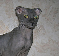 Ukrainian Levkoy cat.jpg