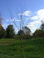 Ulmus lamellosa.jpg