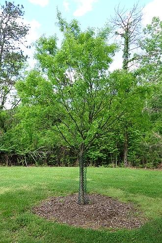 Ulmus parvifolia - Image: Ulmus parvifolia Mount Airy Arboretum DSC03834