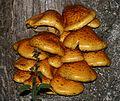 Unident. fungus on Fraxinus - Flickr - S. Rae (1).jpg