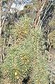 Unidentified Banksiat, Dryandra Woodland, Western Australia.jpg