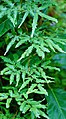 Unidentified Lygodiaceae 09721.jpg