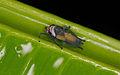 Unknown leafhopper (14523512052).jpg