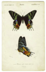 Two illustrations of a large black butterfly with colourful marking on the distal parts of its wings.