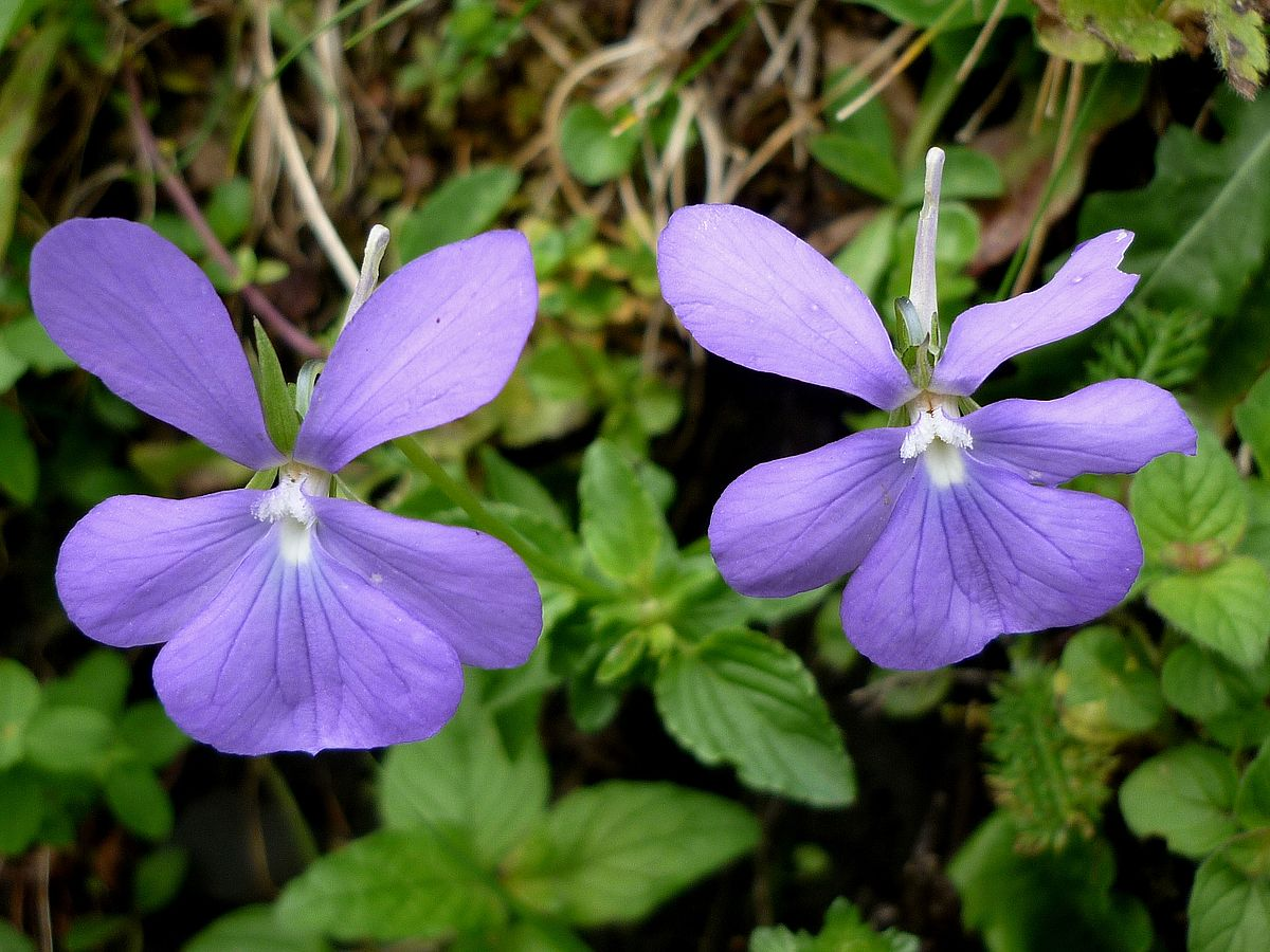Hornveilchen wikipedia for Viola cornuta inverno