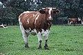 Vache à Auvers-sous-Montfaucon - Wiki takes Sablé.jpg