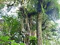 Vegetación de la Reserva de la Biosfera La Amistad Panama (RBLAP) 40.JPG