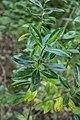 Veronica bollonsii in Christchurch Botanic Gardens 02.jpg