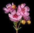 Verticordia picta - Flickr - Kevin Thiele.jpg