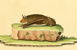 Lesser sac-winged bat species of mammal
