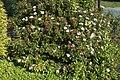 Viburnum tinus A.jpg
