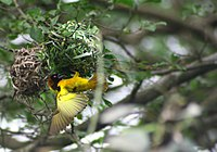 Village weaver at Limbe, Cameroon, by Julie Langford