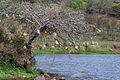 Village weavers (Ploceus cucullatus).jpg