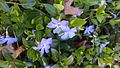 Vinca spreading along a border.jpg