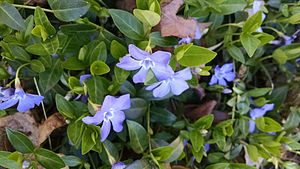 Invasive species - Vinca spreading along a border