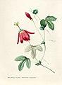 Vintage Flower illustration by Pierre-Joseph Redouté, digitally enhanced by rawpixel 88.jpg