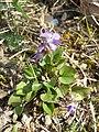 Viola rupestris sl62.jpg