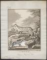 Viverra pardina - 1700-1880 - Print - Iconographia Zoologica - Special Collections University of Amsterdam - UBA01 IZ22400059.tif