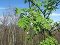 Vosges du Nord - Sorbier en fleurs.jpg