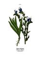WWB-0062-026-Echium vulgare.png