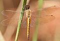 Wandering Glider (Pantala flavescens) W IMG 3429.jpg