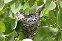 Warbling-vireo-on-nest-09-0615.jpg