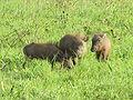Warthog babies in Murchison Falls National Park.JPG