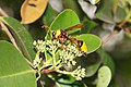 Wasp (Delta sp) 03440.jpg