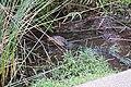 Water Monitor in reeds (26424739690).jpg
