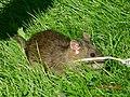 Water rat (15833141140).jpg