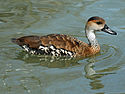 West Indian Whistling-Duck (Dendrocygna arborea) RWD2.jpg